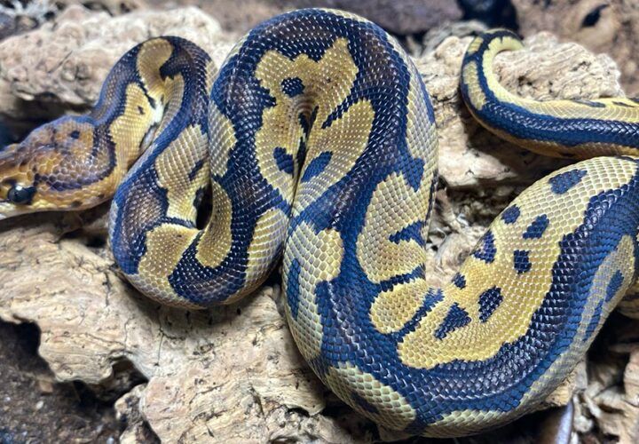 Which species of snakes can make good pets?