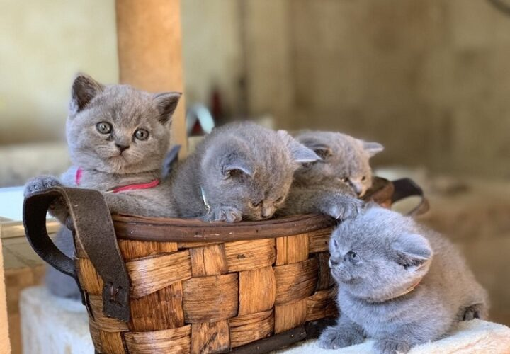A Detailed Guide to British Shorthair Cat Breeds