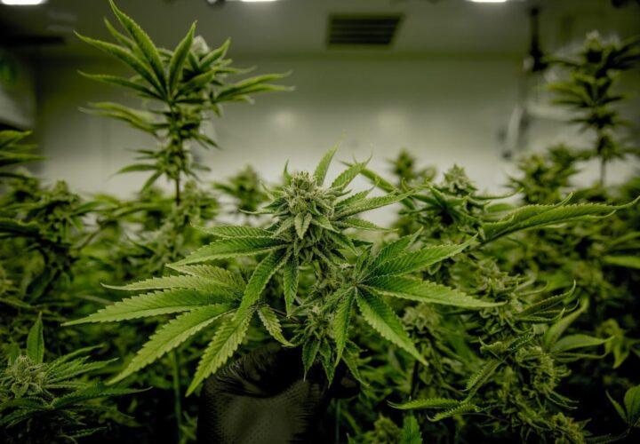 Best Cannabis Seeds for Indoor Growing