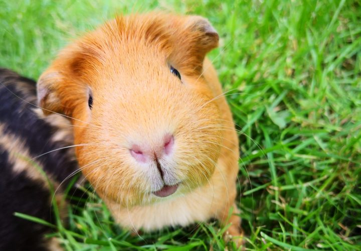 We reveal the truth of five common myths you've heard about guinea pigs